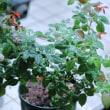 ●我が家の8月の花(7) ムクゲ 薔薇の鉢植え シンテッポウユリ(新鉄砲百合)