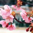 2018年河津桜対戦 亀戸中央公園の対岸に咲く河津桜 vs.スカイツリー下に咲く河津桜