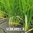 第四回目のきゅうりの植え付けと岐阜の米はつしもの追肥!