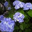 梅雨に紫陽花は良く似合う