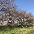 自宅周りの桜の様子 (2)