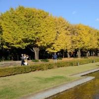 昭和記念公園 イチョウ並木・・3