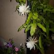 今宵もまたまた3つ咲きました。 (2017年8月20日撮影)