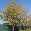 散歩の風景、銀杏も色付き