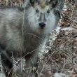 カモシカくんに再会 春をむかえる鹿狼山
