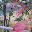ブルーベリーの冬も残る紅葉した葉と芽