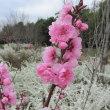 Prunus persica ❛Shonan-no-Akame❜