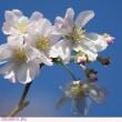 ジュウガツサクラ 〈十月桜〉