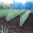 梅雨の合間に草取り、草かき、土寄せ