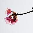 今治市の のまうまハイランド の河津桜の満開はもう少し先のようです (その2)
