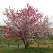 Prunus persica ❛Genpei To❜