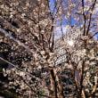 2018年3月22日東京スクエアガーデンの桜