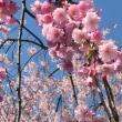 千本のシダレ桜並木…喜多方