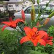 スカシユリとサボテンの花