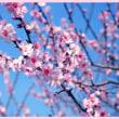 神戸でアーモンドの花が見れると聞いて。