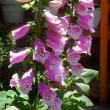 ジキタリス 開花。