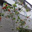 アブチロンの花を初めて見たのは今年の春