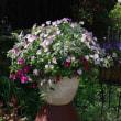 大鉢の寄せ植えギャザリング、4か月