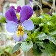 自宅の花(12月)アフリカンマリーゴールド、ペチコートスイセン、ビオレッタ、他