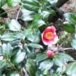 兼六園の梅と椿