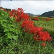 奥荒田で彼岸花を撮ってきてくれました。