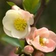 木瓜の花(Ⅵ)