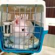 11月16日(金)のつぶやき #ミルコ @mirko_cat 今日からお泊まり&ワクチン注射 #白猫