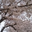 今年も桜がきれいです。