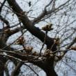 桜の開花はまだです(八王子南浅川)