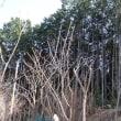 ようやくタラの木の新芽が膨らみ始めた