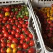 トマト販売開始!