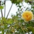 美しい秋のバラ