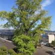 樹木医による樹木調査2018
