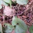 ヒメカンアオイの花。たくさんのニホンアカガエルの卵。
