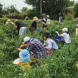 7月22日収穫体験 ナス、オクラなど