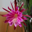 クジャクサボテンの開花