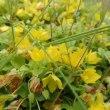 この黄色い花は何だろう?