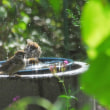 水遊びする雀ちゃん