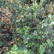 畑のバラの剪定2