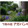 7月の花 アガパンサス