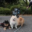 昭和記念公園はポメ盛りーコスモス畑編