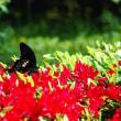 クロアゲハと花と