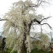 高山村の古木桜を訪ねる 横道・高山大橋南の枝垂れ桜