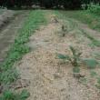 畑、じゃが芋の芽