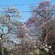 大きなハクモクレンの独立樹が見ごろに(埼玉・所沢)