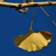 まもなく散ってゆくイチョウの葉   (Photo No.14112)
