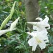 長雨の8月・・・タカサゴユリが咲きました