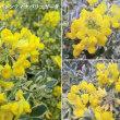 コロニラバレンティナバリエガータの花は