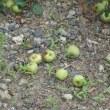 りんごが生っています
