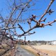 その後の遊歩道の河津桜